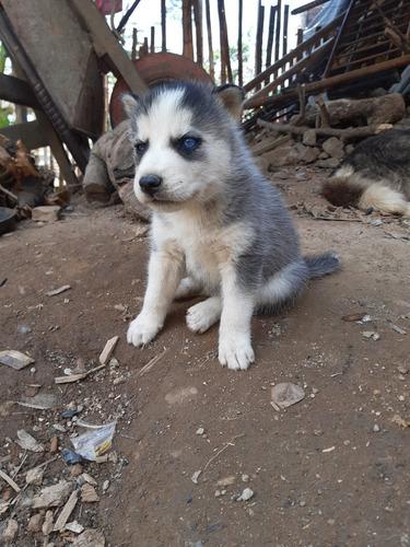 perros lobos siberianos