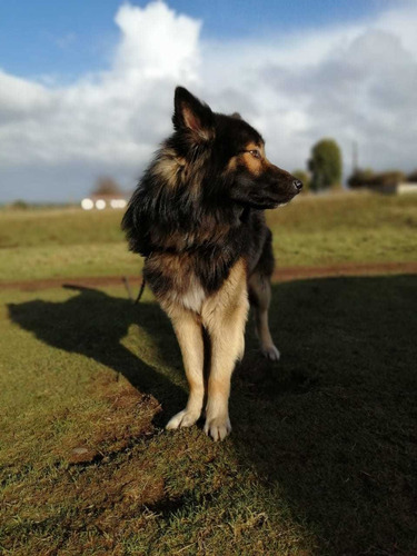 perros pastor alemán buscan novia para cruza
