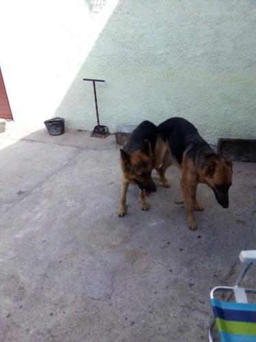 perros pastor aleman (policia)