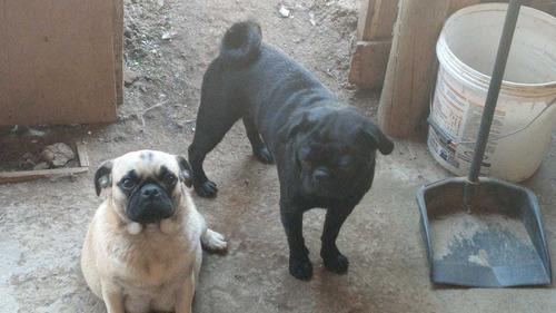 perros pug 5 hembras 3 machos