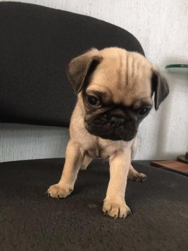 perros pug