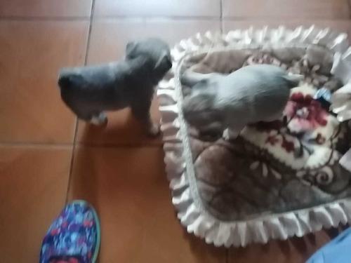 perros pug machos