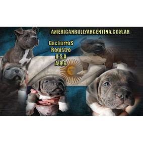Pitbull Blue Brindle  Sangre American Bully  Cachorros Fca