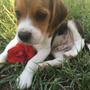 Cachorros Beagle Machos Listos Para Entrega