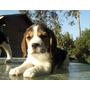 Maravillosas Cachorras Beagle Tricolor Enana