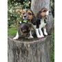 Cachorros Beagle Tricolor Hembras