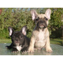 Bulldog Frances Fawn Y Brindle Inscritos Machos, Tarjetas