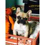Hermosa Bulldog Francés Inscrita Pequeñita