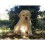 Cachorros Golden Retriver