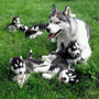 Husky Siberiano O Lobos Siberianos Disponibles En Medellin
