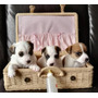 Cachorros Jack Russell Terrier Con Pedigri