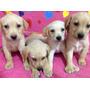 Cachorros Labradores Retriever Dorados Puros Muy Hermosos!
