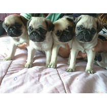 Cachorras Pug Carlino Inscritas