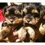 Yorkshire Terrier Pequeñitos C/vacunas Entrega En Santiago
