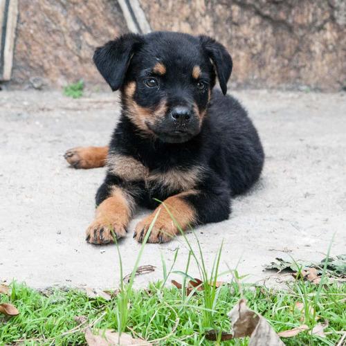 perros rottweiler cachorros