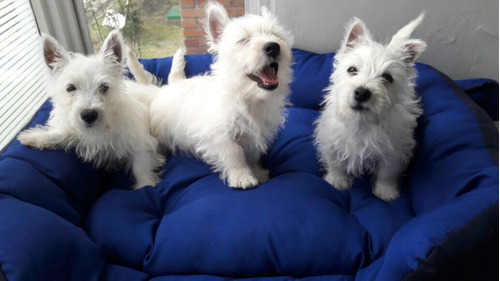 perros westy y scottish certificado pureza gratis cama