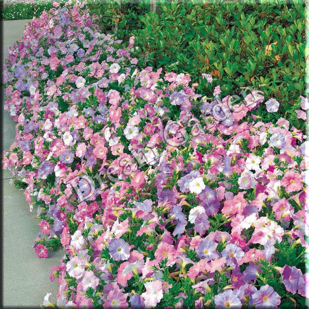 Pet nia f2 sortida axillaris x integrifolia sementes flor for Petunie inverno