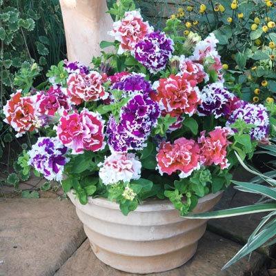 Petunia pirouette dobrada sortida sementes flor para mudas for Petunie inverno
