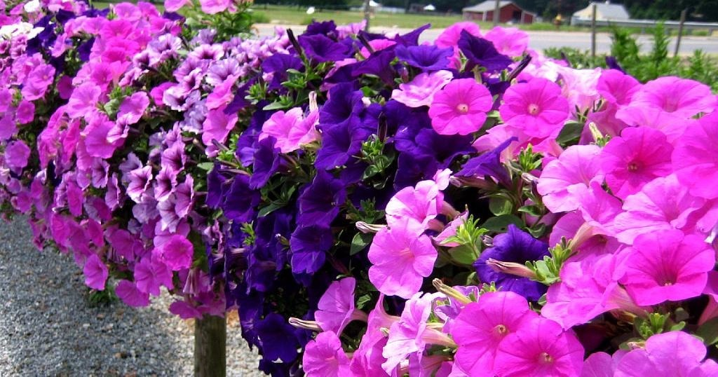 Petunias flores temporada en mercado libre for Plantas temporada