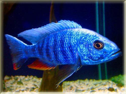 pez africano azul electrico (agua templada)