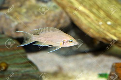 pez africano brichiardi (agua templada)