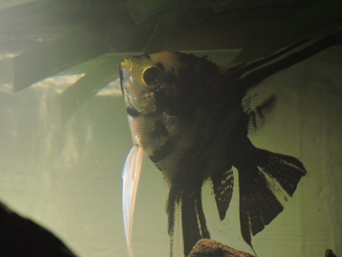 pez angel escalar
