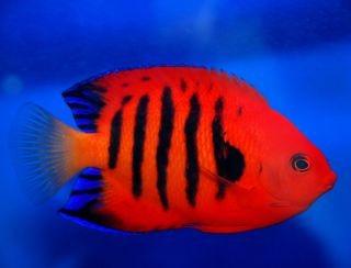 Pez angel flama acuario marino convive con payaso y for Peces de acuario marino