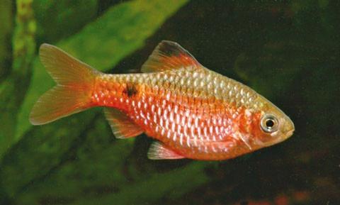 pez barbo rosy