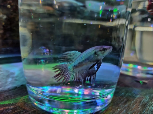pez betta corona