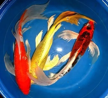 pez carpa koi de velo 125 c u peces en mercado