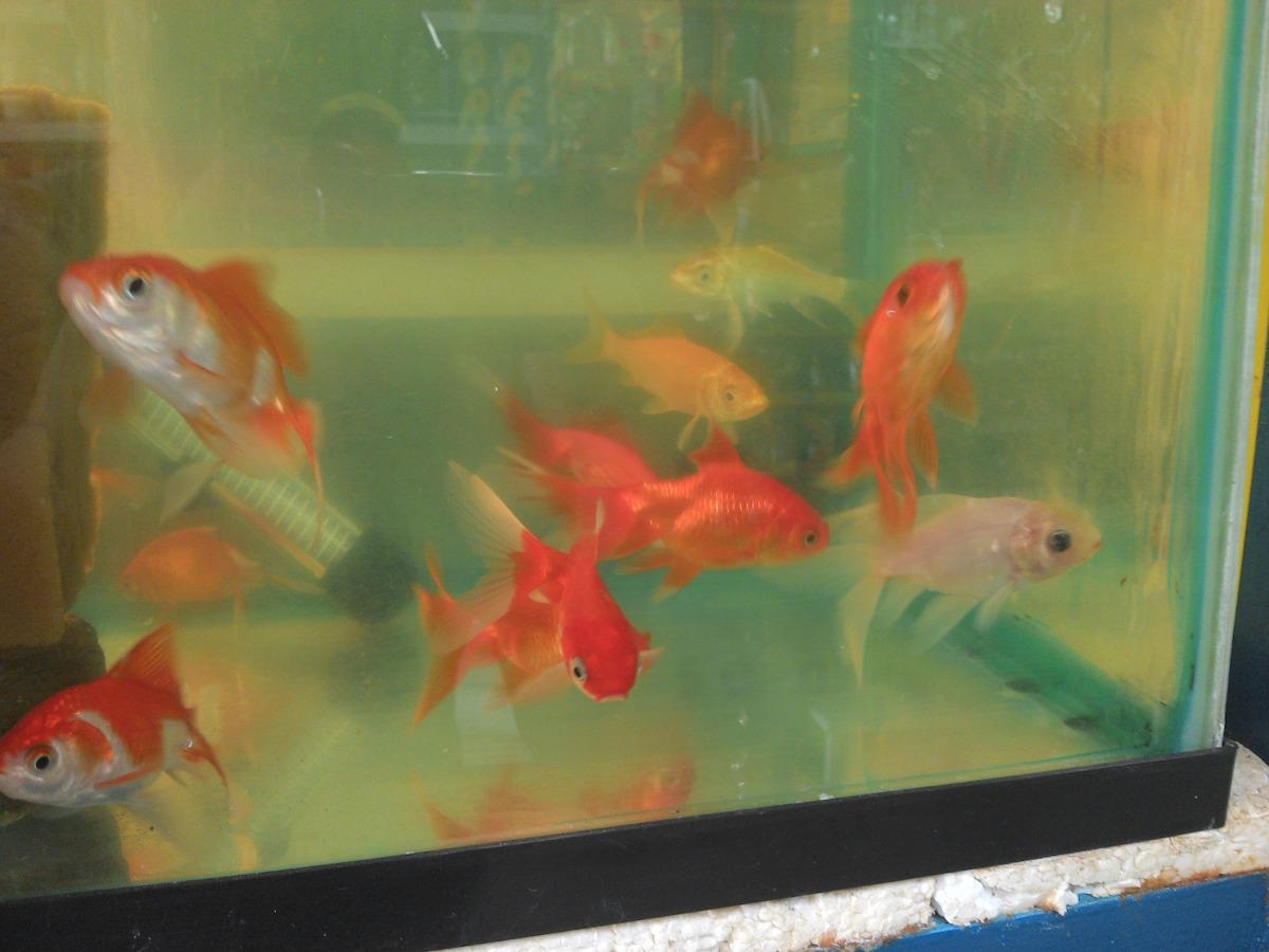pez japones cola de abanico de colores precio de mayoreo