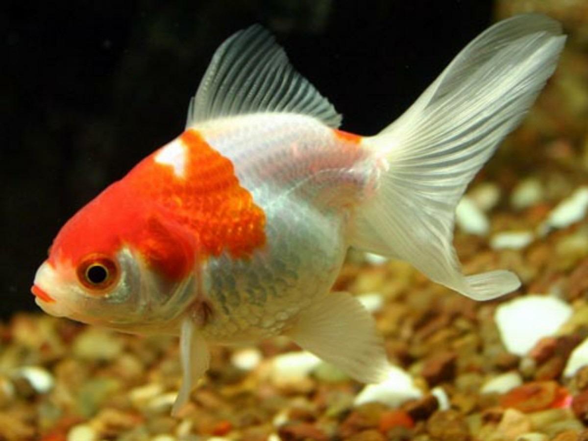 Pez japonese o goldfish en mercado libre for Enfermedades de peces goldfish