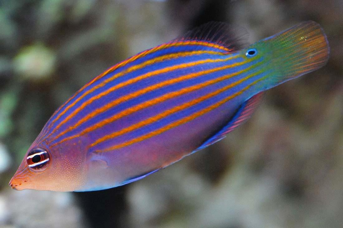 pez labrido seis lineas peces marinos acuario pecera