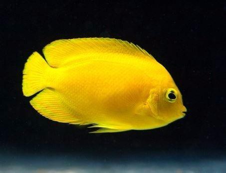 Pez marino angel amarillo acuarios marinos peces marinos for Peces de acuario marino
