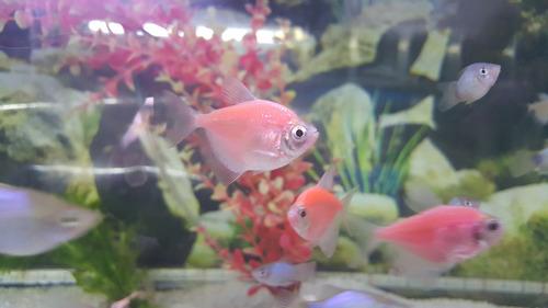 pez monja rosada