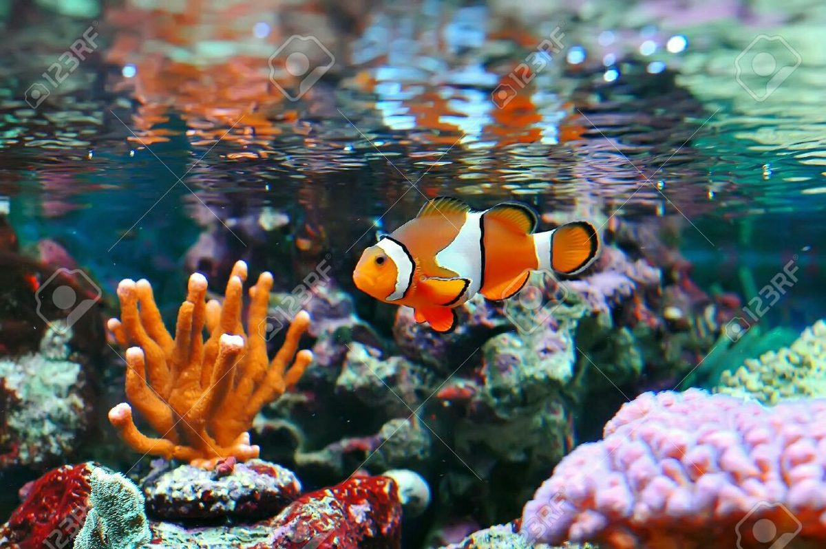 Pez Payaso Ocellaris Nemo Peces Marinos 180000 En Mercado Libre
