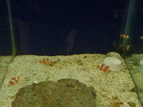 pez payaso percula (amphiprion ocellaris)