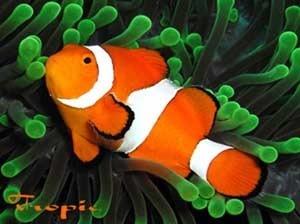 Pez peces para acuario marino payaso nemo pecera 100 for Peces de acuario marino