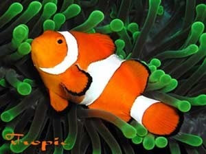 Pez peces para acuario marino payaso nemo pecera 100 for Peces marinos para acuarios pequenos