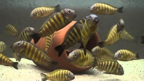 pez thropheus moori brichardi kipili (agua templada)
