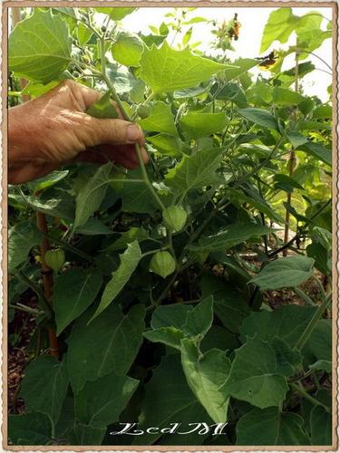 physalis peruviana, frutilla peruana, 30 semillas
