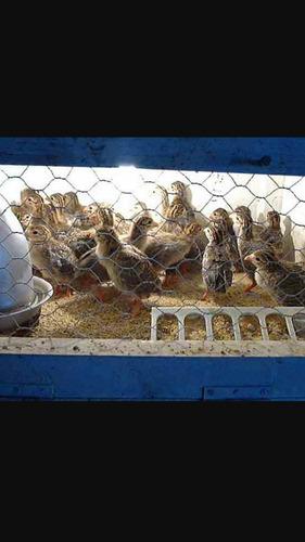 pichones de guineas