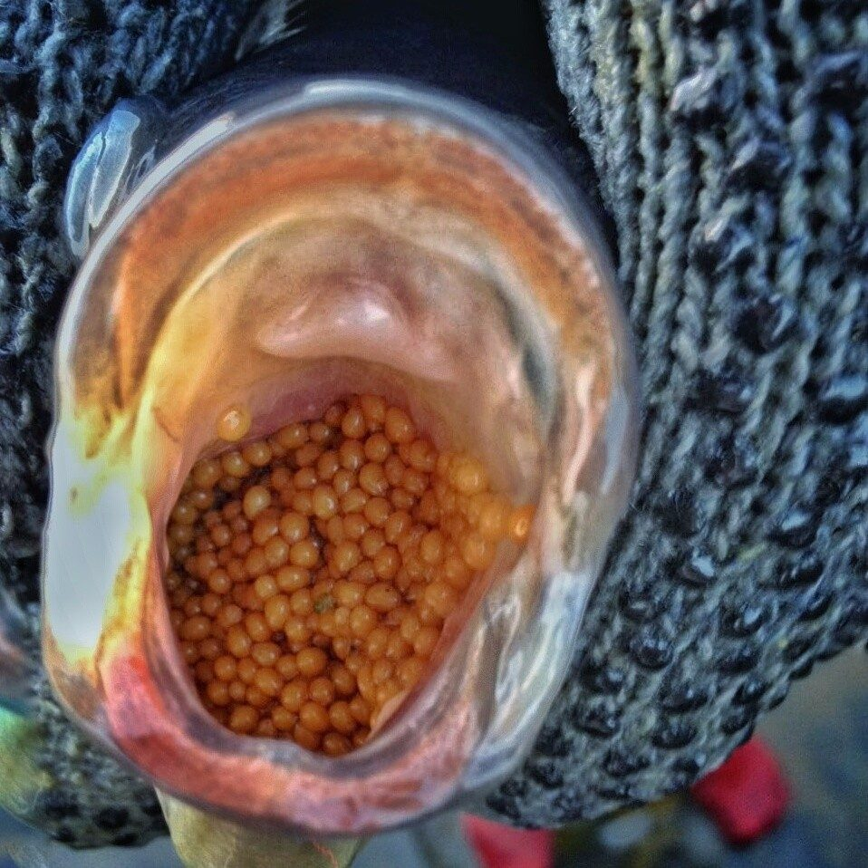 Pie de cr a tilapia gris n cleo gen tico 500 for Cria de tilapia en estanques plasticos