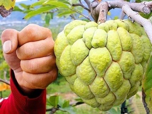 pinha gigante (ata) fruta do conde, 200 sementes para mudas