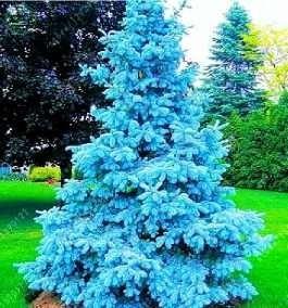 pinheiro azul pinheiro azul (picea pugens) sementes p/ mudas bonsai e árvore conifera frete grátis