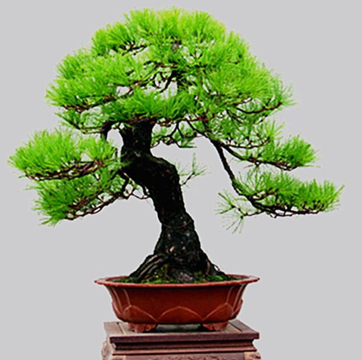 Pinheiro negro para bonsai pinus thunbergii 10 sementes r 25 00 em mercado livre - Plantas para bonsai ...