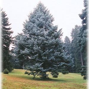 pino blanco (10 semillas)