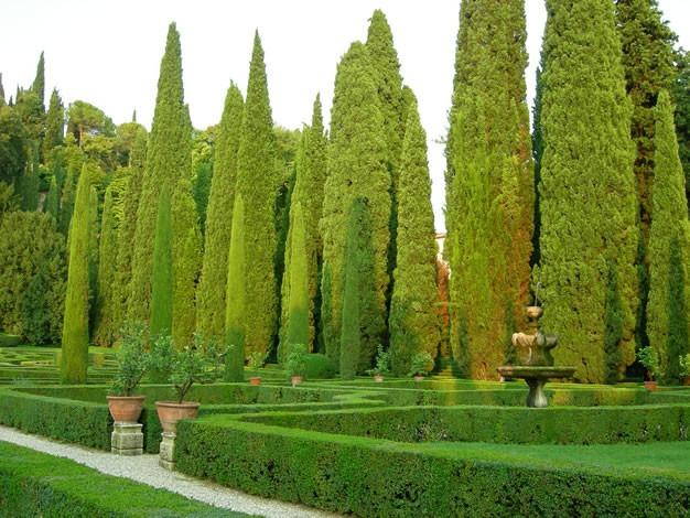 Pino de cipres italiano cupressus sempervirens 140 for Tipos de pinos para jardin