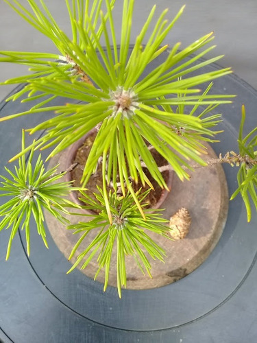 pino negro japones bonsai - kuromatsu 100% japanese