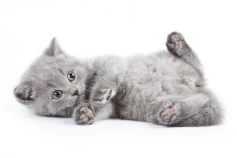 pipeta antipulgas piojos frontline plus para gatos 3 kg